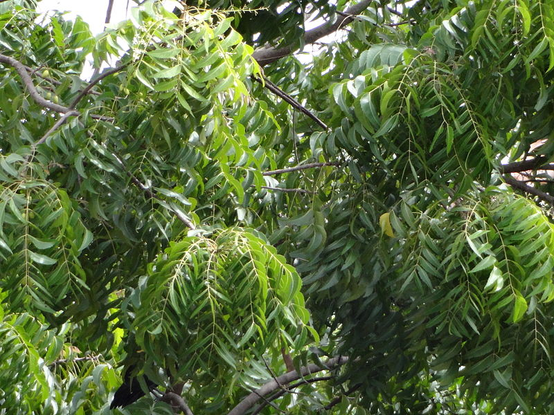 Neem_tree_leaves